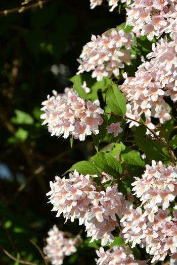 Flowering beauty bush