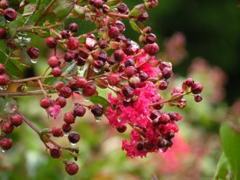 Flowering in Rain