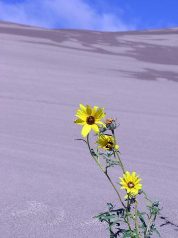 Flowers on the Sand Dunes