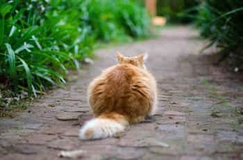 Fluffy Caramel Cat Sitting on a Garden Path