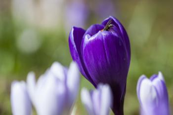 Fly on the Crocus