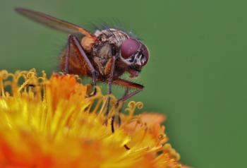 Fly on the Flower