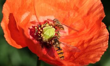 Fly on the Poppy