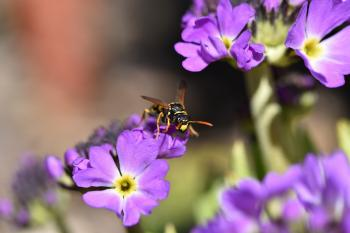Fly on the Primrose