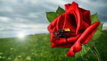 Fly on the Rose