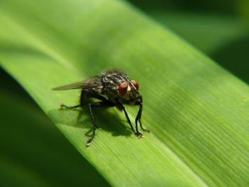 Fly sitting on grass macro