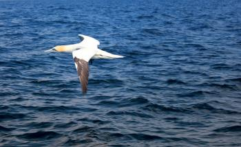 Flying Gannet Out at Sea