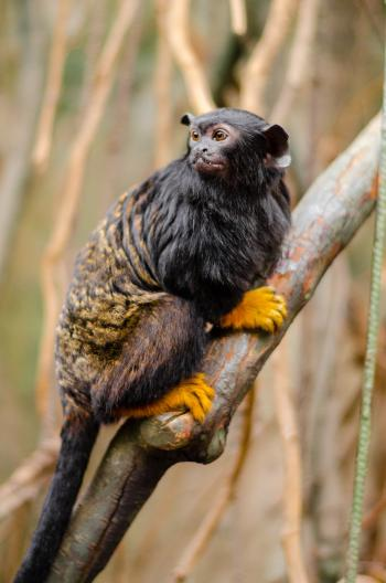 Focus Photo of Red-Handed Tamarin
