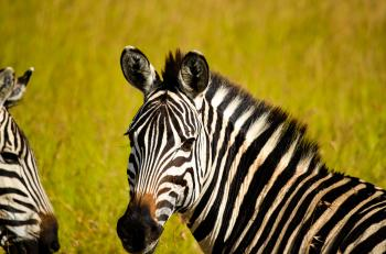 Focused Photo of Zebra