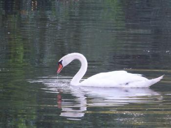 Food seeking swan