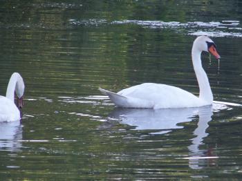 Food seeking swans