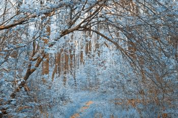 Forest Arch Trail - Winter Blue