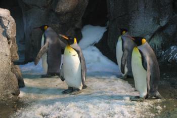 Four King Penguins