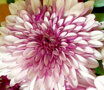 Fresh Chrysanthemum