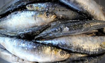 Fresh sardines on salt