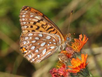 FRITILLARY, ATLANTIS (Speyeria atlantis) (8-9-09) stonington, me (1)