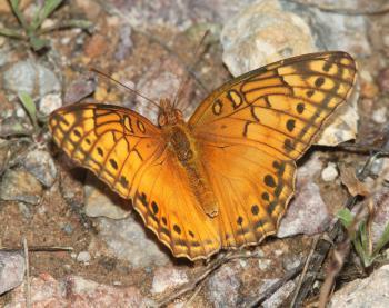 FRITILLARY, MEXICAN (Euptoieta hegesia) (10-9-12) sawmill cyn, huachuca mts, cochise co, az -01