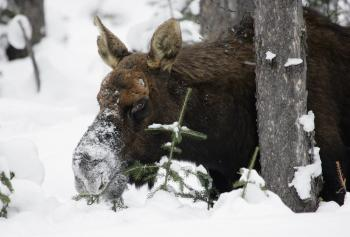 Frozen Moose