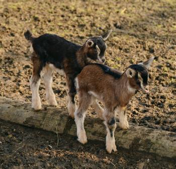 Full Length of a Goat