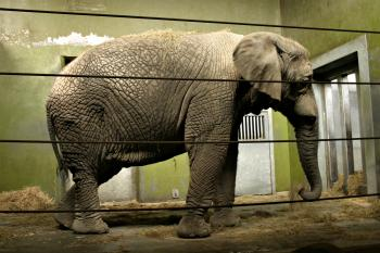 Fully grown elefant