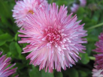 Geogeous pink flowers