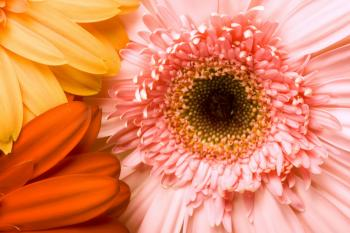 Gerbera background