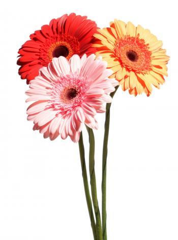 Gerberas on white