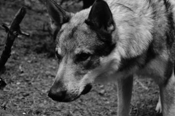 German Shepherd Grayscale Photo