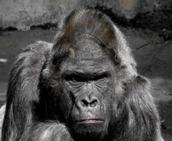 Giant Gorilla
