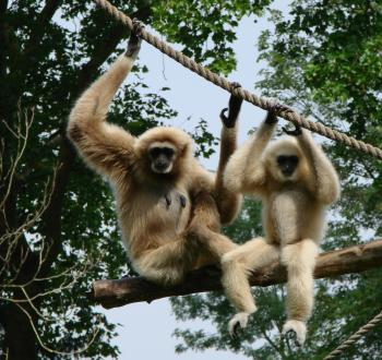 Gibbons on the Branch