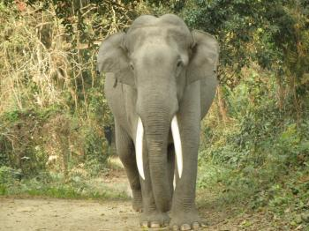 Gigantic tusker elephant of  Kaziranga