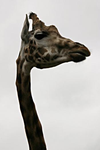Giraf closeup