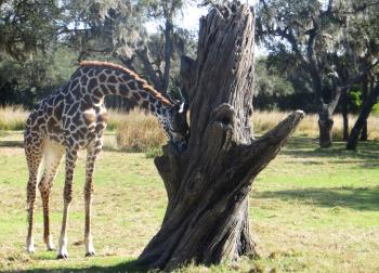 Giraffe Beside Gray Dead Tree