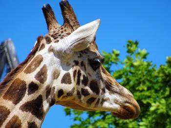 Giraffe Head Beside Green Leafed Tree