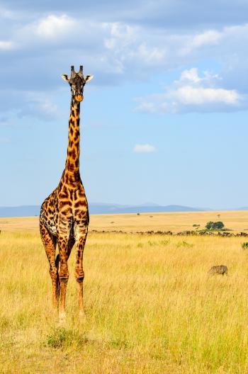 Giraffe Standing On Grass