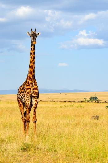 Giraffe Standing On Grass