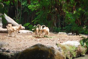 Goats at Surabaya Zoo