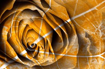 Golden Rose Decay