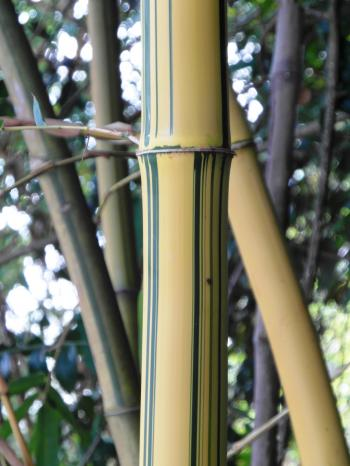 Golden Striped Bamboo Detail
