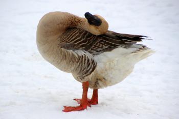 Goose in Winter