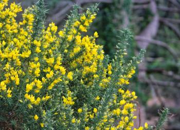 Gorse of course