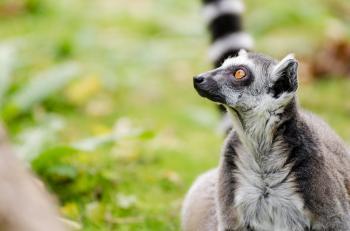 Granny Lemur (Ring-Tailed Lemur)