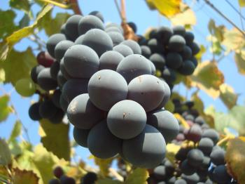 Grapes on a vineyard