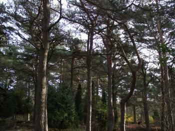 Graveyard pines