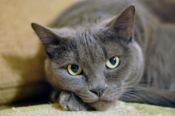 The gray Cat