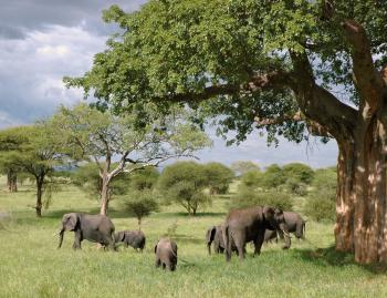 Gray Elephant Herd Under Green Tree on Green Grass Fields during Daytime