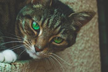 Gray Tabby Cat with Green Eyes