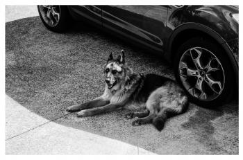 Grayscale German Shepherd Lying on Ground