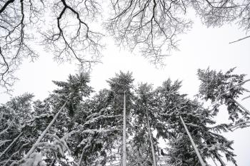 Grayscale Photo of Pine Trees