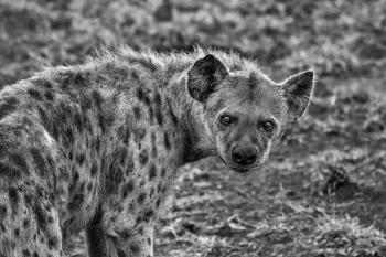 Grayscale Photography of Hyena